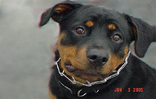 BUCHANANFPC PHOTO (JOANNA TOMS ROTTIE)