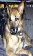 BUCHANANFPC PHOTO (LADY AMBER, GERMAN SHEPHARD -- NOVEMBER 22, 1986 TO JANUARY 18, 1999)